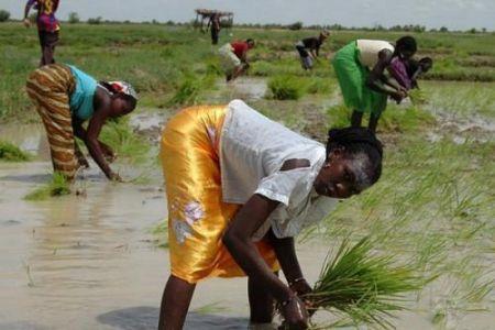 Agriculture : Le Cameroun cherche des investisseurs pour un projet de riziculture sur plus de 10 000 hectares dans l'Extrême-Nord