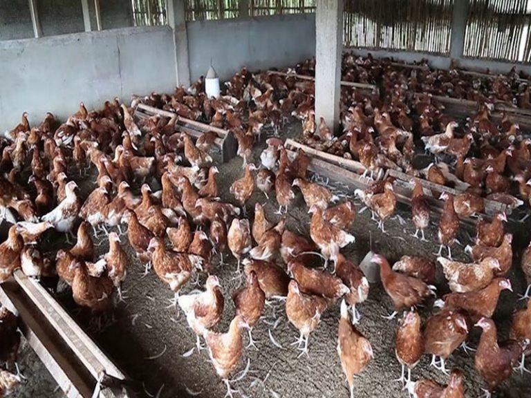 La filière avicole pourrait créer 150 000 emplois au Togo d'ici 2025