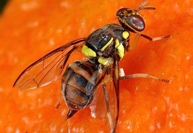 Le piège à para-phéromones : Une technologie pour lutter contre la mouche de fruits