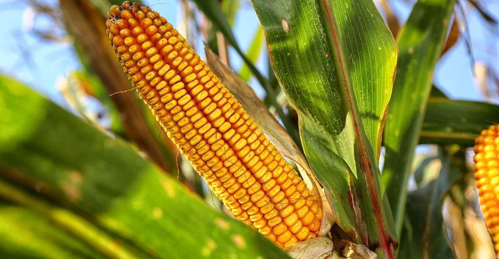 Le Zimbabwe prévoit une production de maïs record soit 3,6 millions de tonnes en 2020/2021