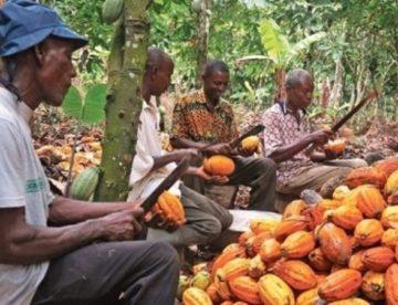 Le Cameroun veut doper sa production de cacao pour la porter à 450 000 tonnes