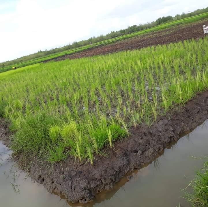 Côte d'Ivoire : Rendre la filière riz compétitive et respectueuse de l'environnement à la travers la SNDR 2020-2030