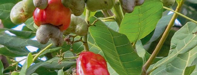 Burkina Faso : Le secteur de la noix de cajou profitera d'un nouveau projet pour accroître sa contribution à l'économie