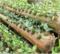 Agriculture hors sols: Cultiver des légumes sur des bûches de bananiers, une technique innovante développée en Indonésie.
