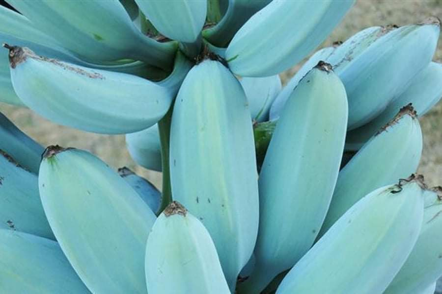 Blue Java Banana: La banane de la crème glacée