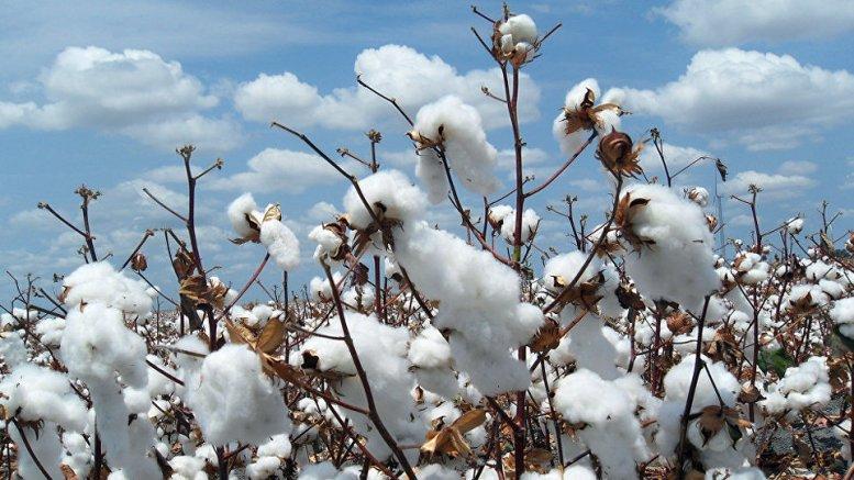 La Côte d'Ivoire met au point deux nouvelles variétés de coton