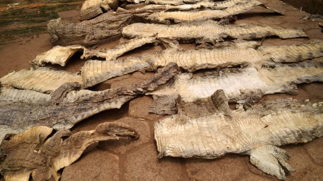 Province de la Sissili : Un trafiquant de 30 peaux de crocodiles aux arrêts