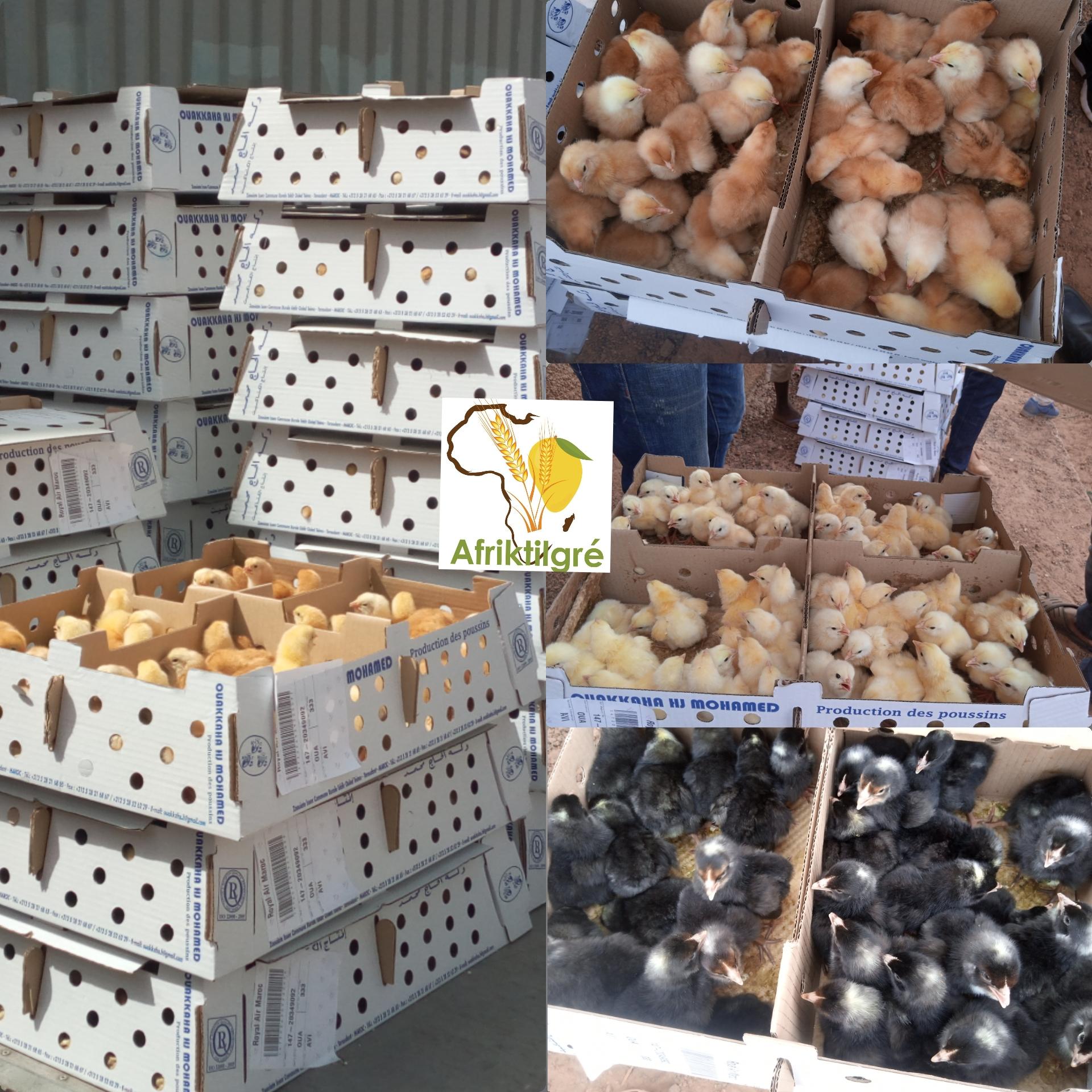 Aviculture : 42 000 poussins chairs et 26 000 poussins fermiers attérissent à Ouagadougou