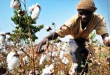 Mali : Après une campagne 2020/2021 catastrophique, la filière cotonnière veut remonter la pente avec une production de 810 000 tonnes en 2021/2022