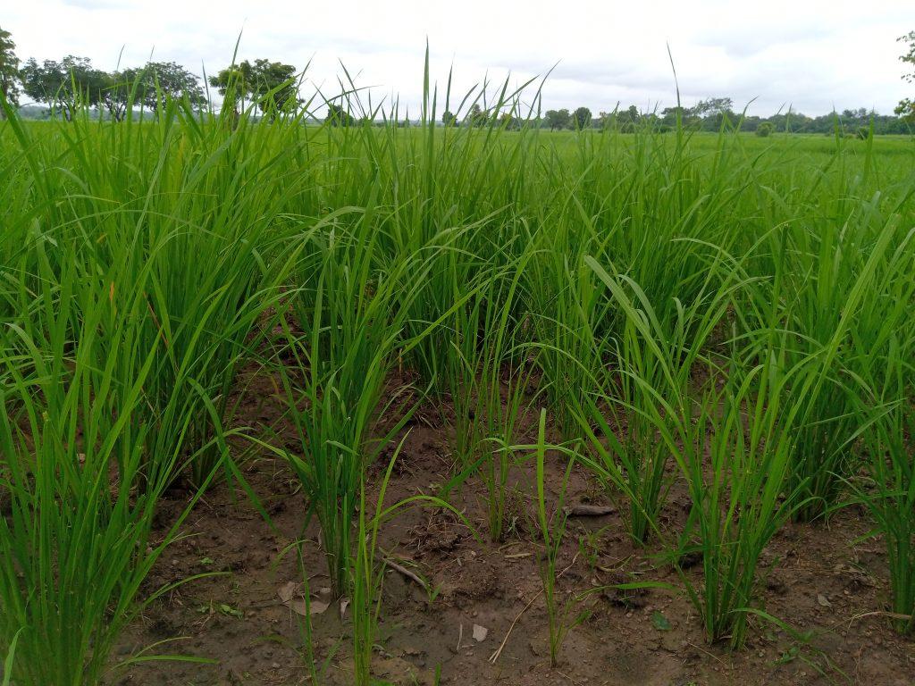 Bas-fond rizicole de Djikando : Un site en quête d'entretien