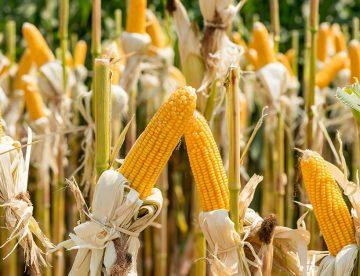 Nigéria : le gouvernement autorise la culture d'une nouvelle variété de maïs transgénique